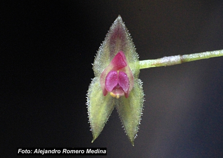 Lepanthes acarina Luer 1983